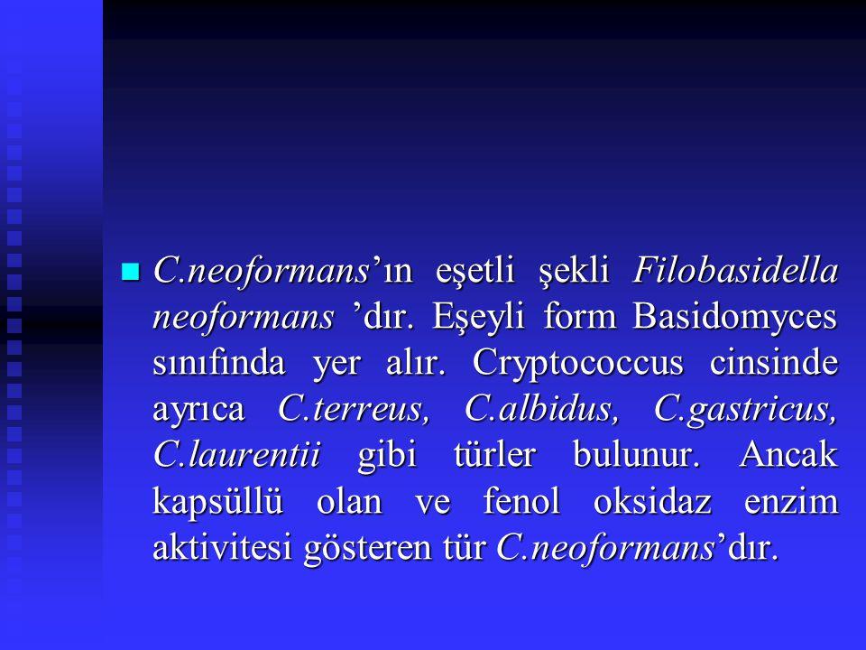 C. neoformans'ın eşetli şekli Filobasidella neoformans 'dır