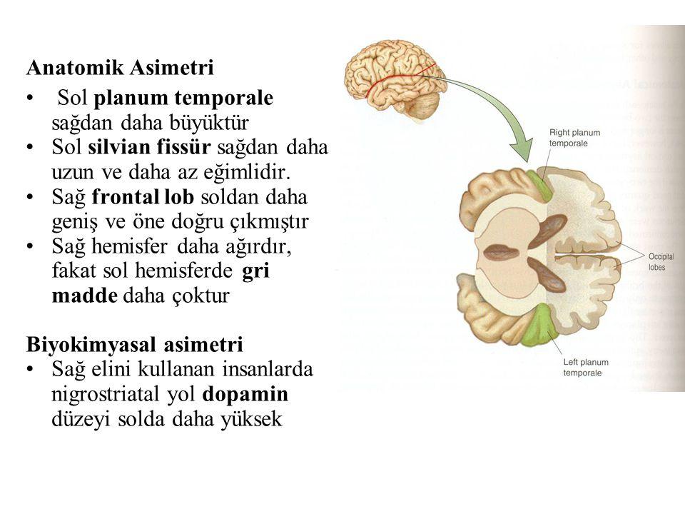Anatomik Asimetri Sol planum temporale sağdan daha büyüktür. Sol silvian fissür sağdan daha uzun ve daha az eğimlidir.