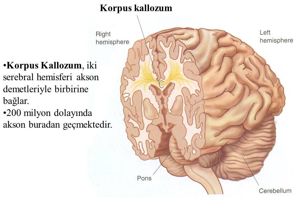 Korpus kallozum Korpus Kallozum, iki serebral hemisferi akson demetleriyle birbirine bağlar.