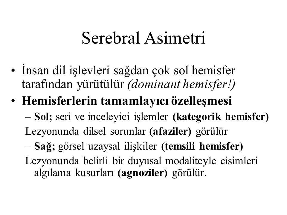 Serebral Asimetri İnsan dil işlevleri sağdan çok sol hemisfer tarafından yürütülür (dominant hemisfer!)
