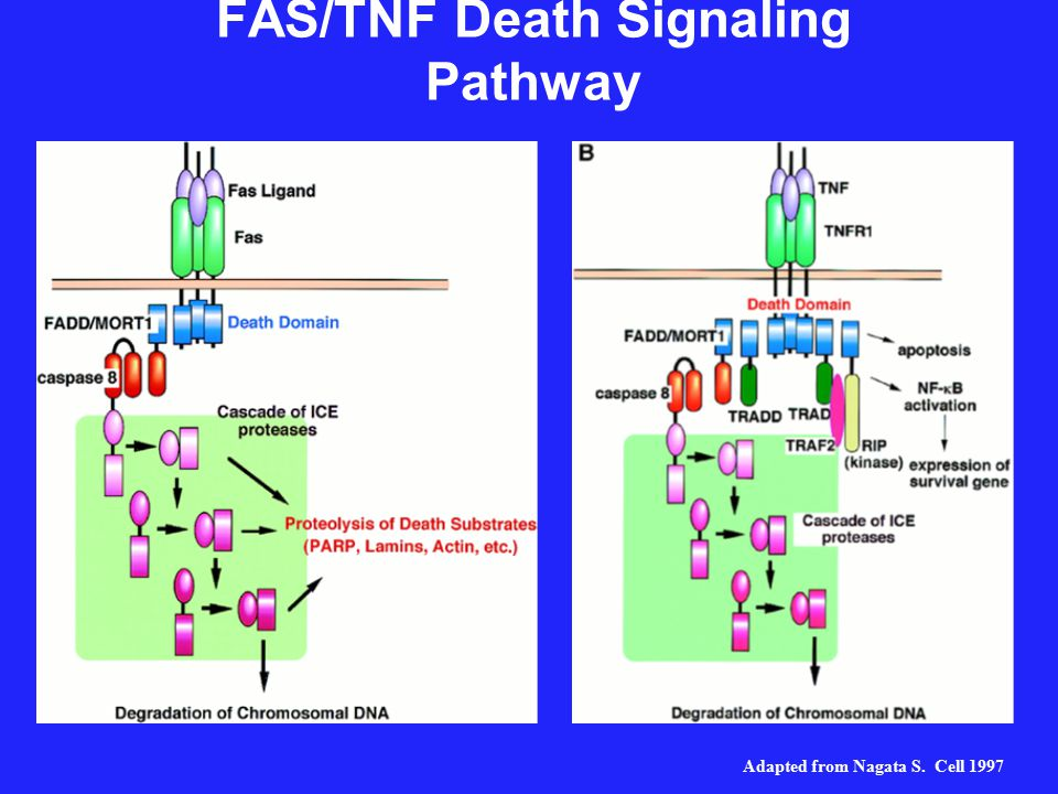 FAS/TNF Death Signaling Pathway