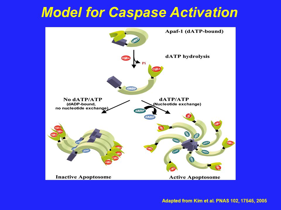 Model for Caspase Activation