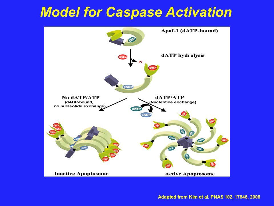 Model for Caspase Activation