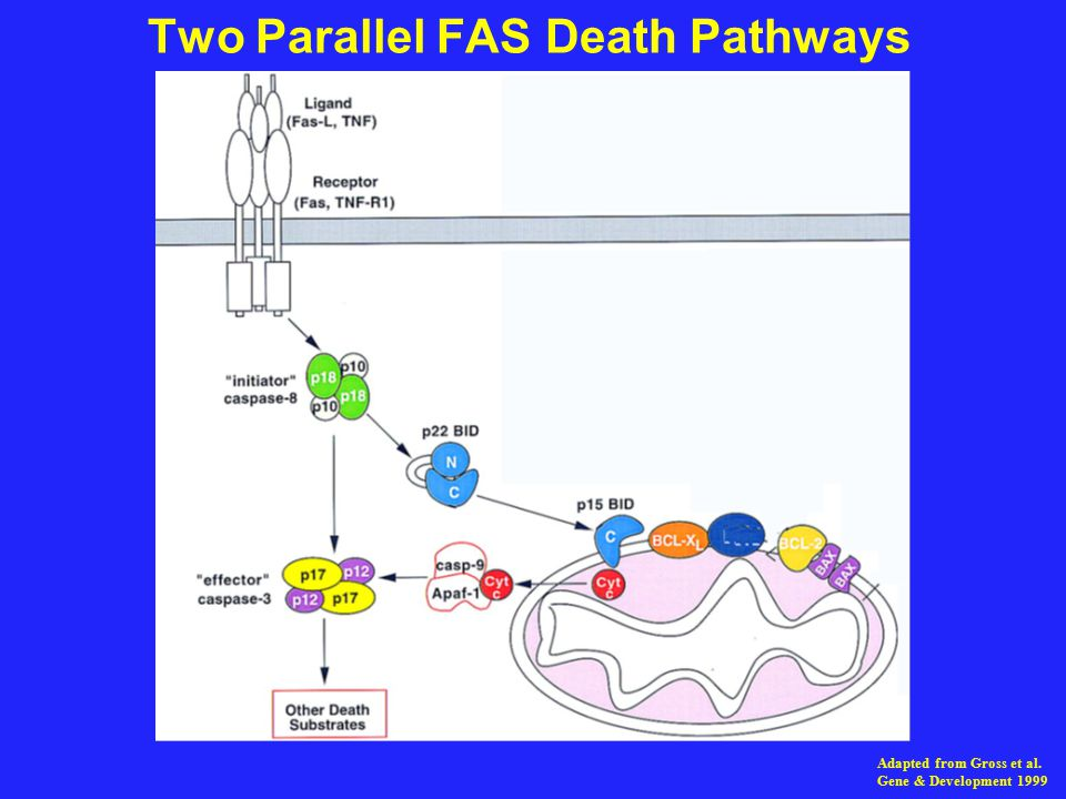 Two Parallel FAS Death Pathways