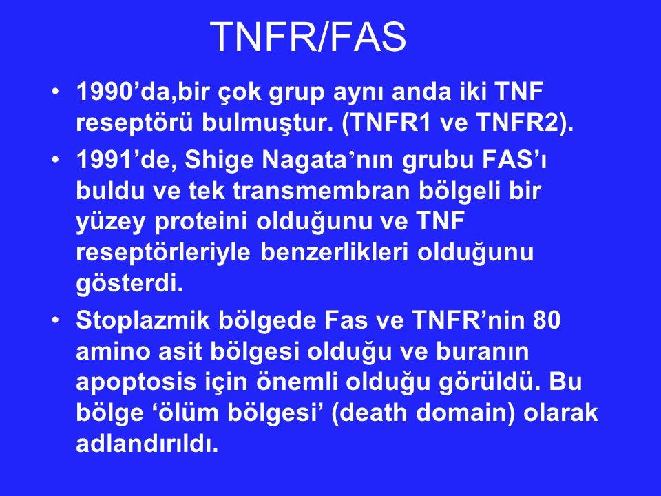 TNFR/FAS 1990'da,bir çok grup aynı anda iki TNF reseptörü bulmuştur. (TNFR1 ve TNFR2).