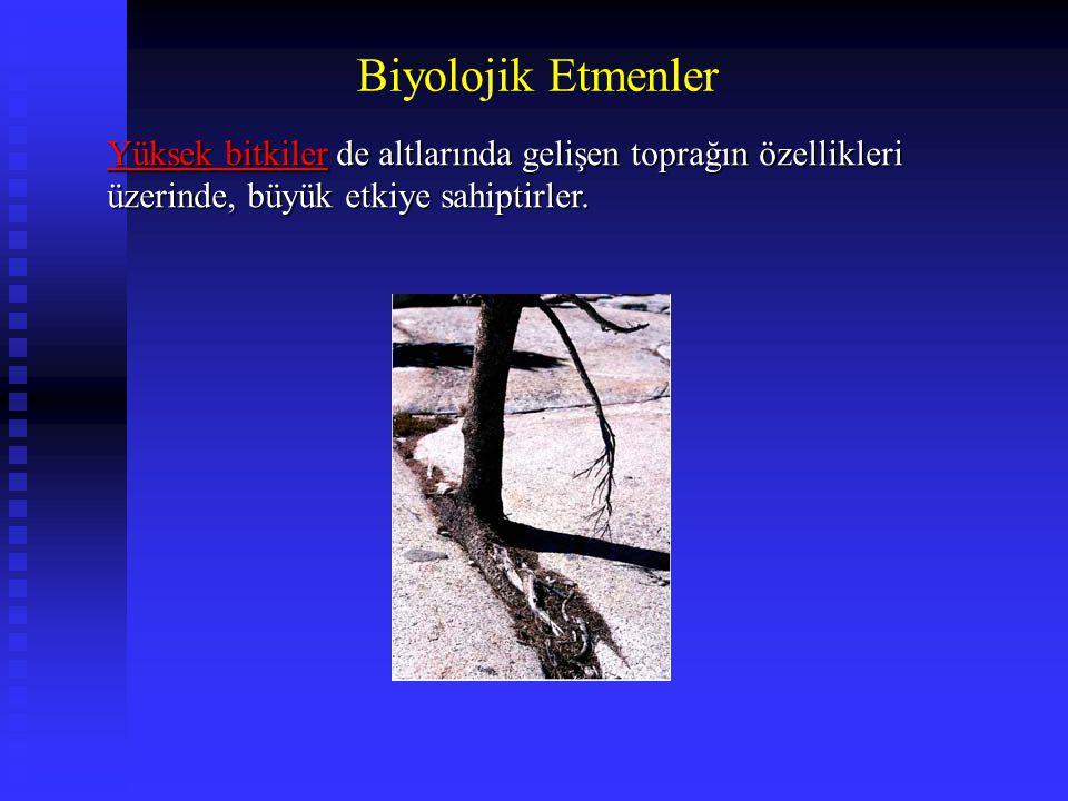 Biyolojik Etmenler Yüksek bitkiler de altlarında gelişen toprağın özellikleri üzerinde, büyük etkiye sahiptirler.