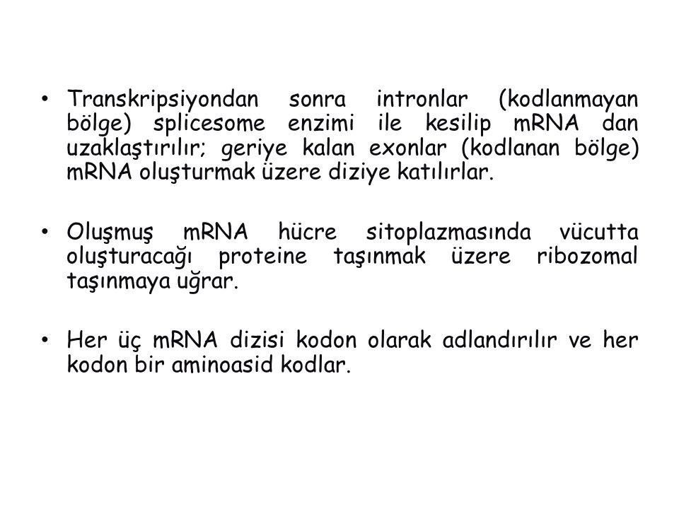Transkripsiyondan sonra intronlar (kodlanmayan bölge) splicesome enzimi ile kesilip mRNA dan uzaklaştırılır; geriye kalan exonlar (kodlanan bölge) mRNA oluşturmak üzere diziye katılırlar.