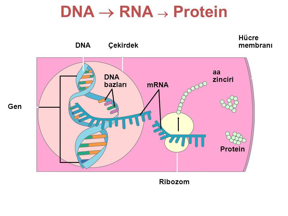 DNA  RNA  Protein Hücre membranı DNA Çekirdek aa zinciri DNA bazları