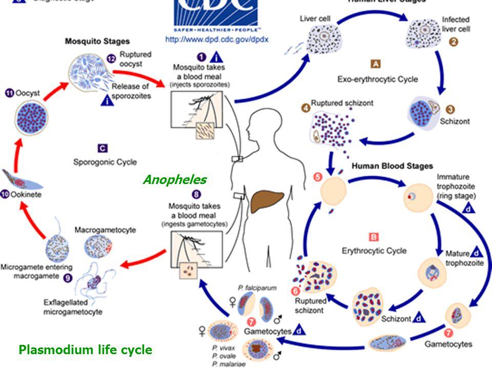 Şizogoni/Merogoni Anopheles Plasmodium life cycle