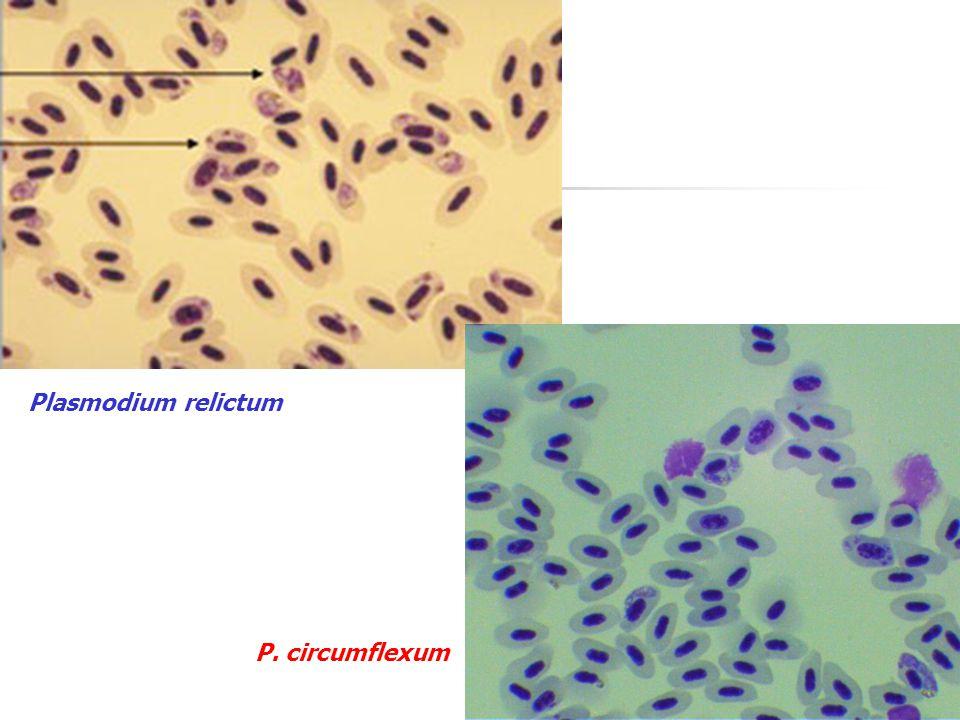 Plasmodium relictum P. circumflexum
