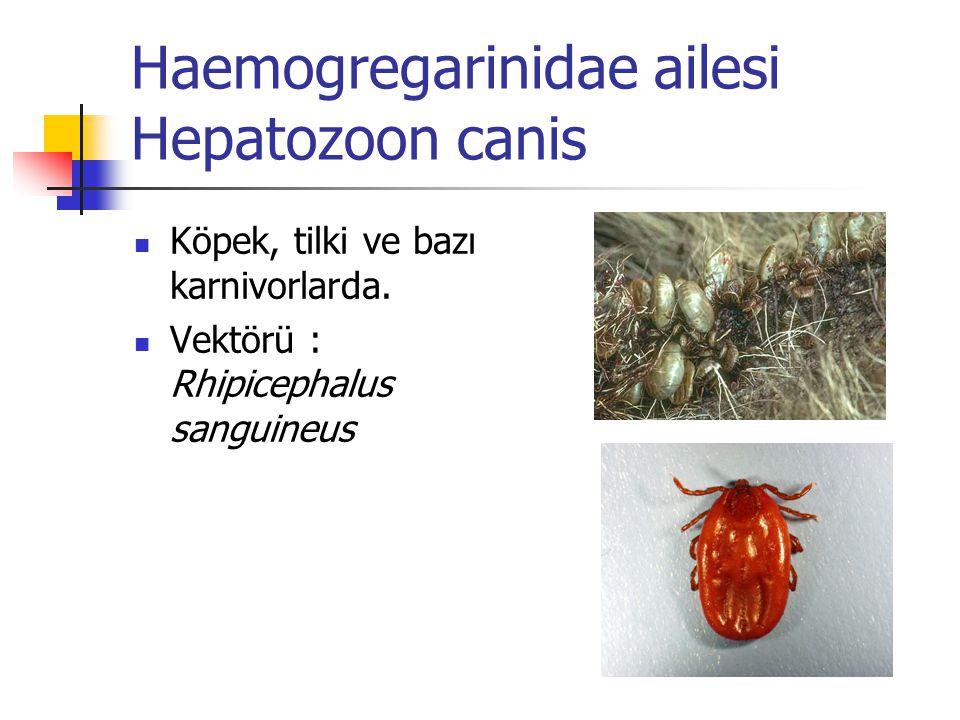 Haemogregarinidae ailesi Hepatozoon canis