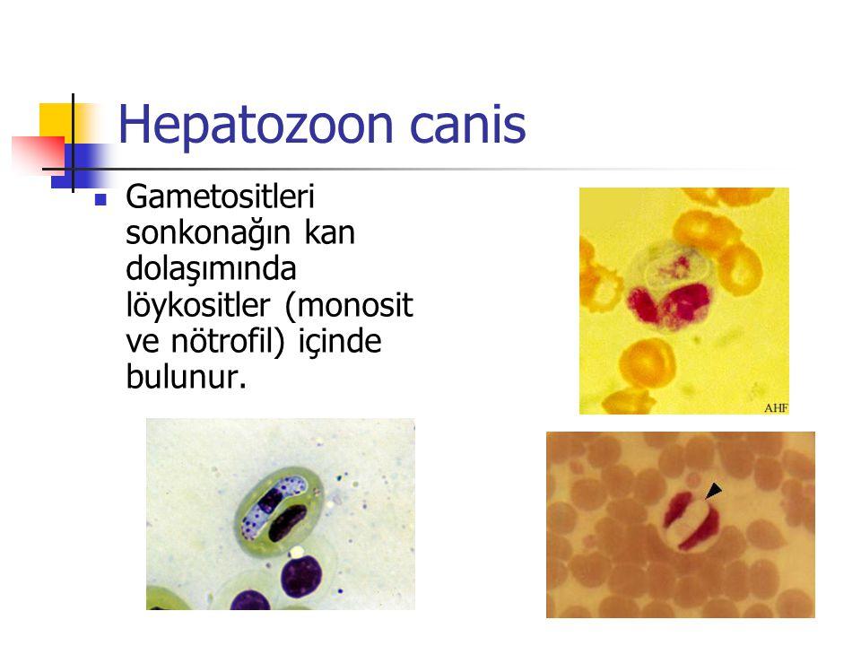 Hepatozoon canis Gametositleri sonkonağın kan dolaşımında löykositler (monosit ve nötrofil) içinde bulunur.
