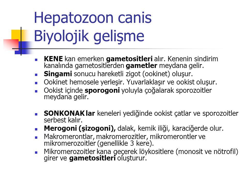 Hepatozoon canis Biyolojik gelişme