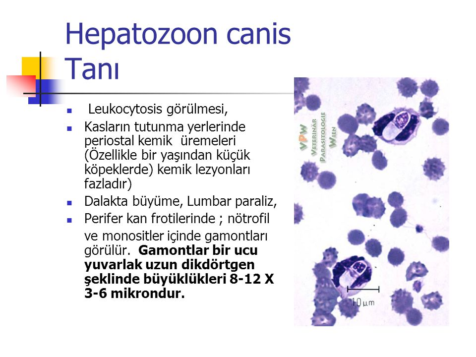 Hepatozoon canis Tanı Leukocytosis görülmesi,