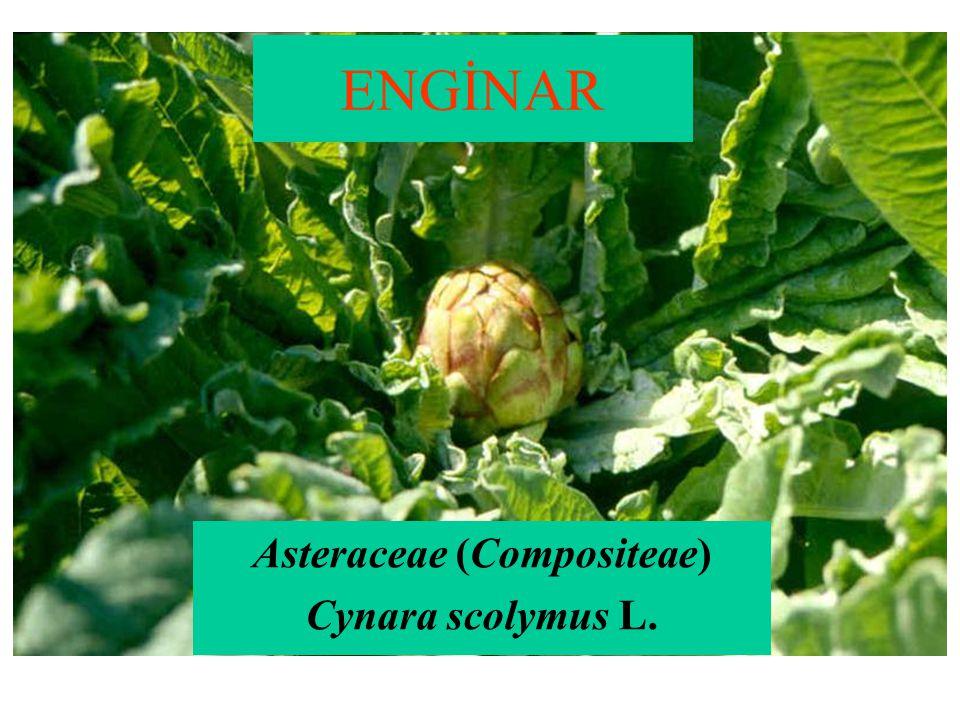 Asteraceae (Compositeae) Cynara scolymus L.