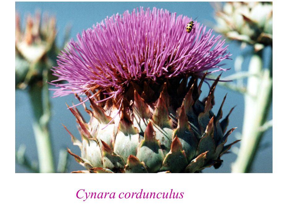 Cynara cordunculus