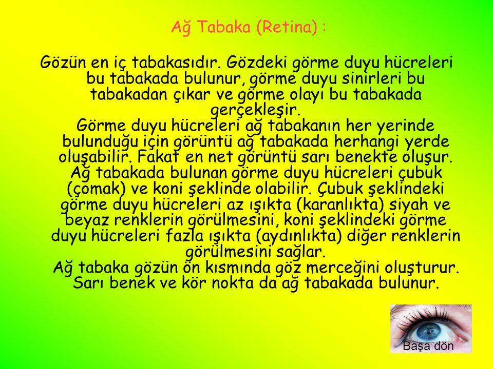 Ağ Tabaka (Retina) :