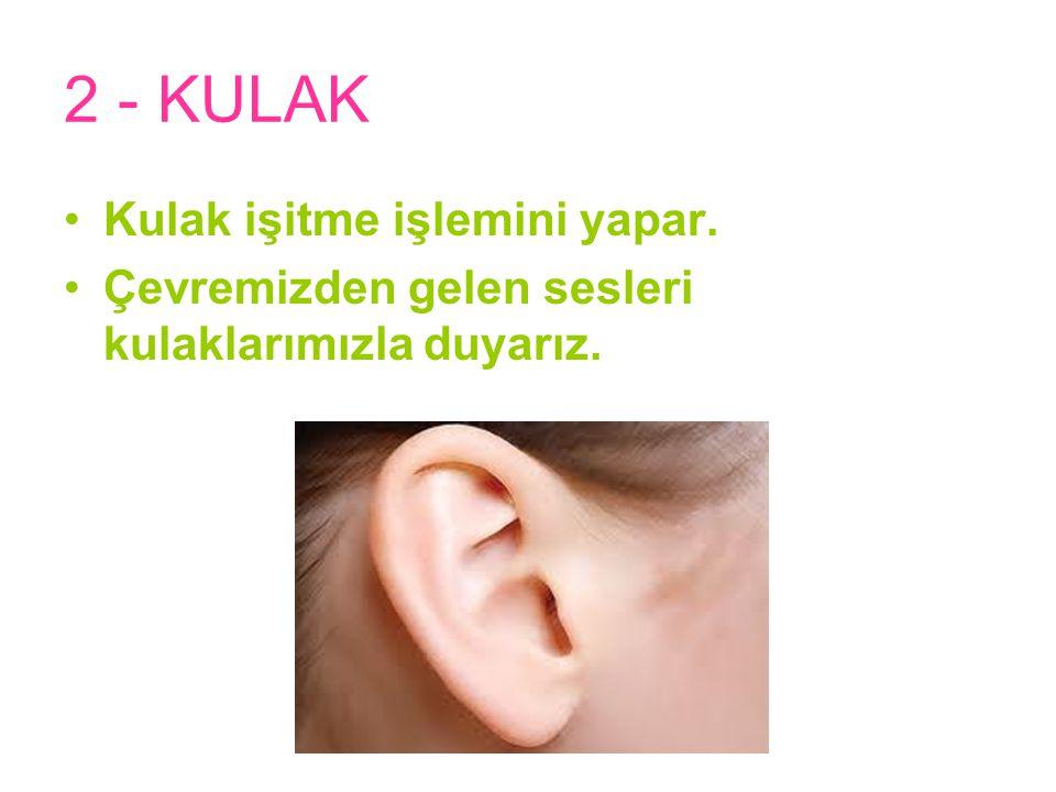 2 - KULAK Kulak işitme işlemini yapar.