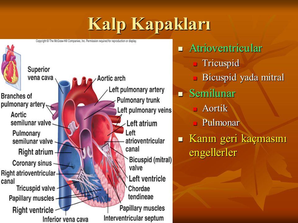 Kalp Kapakları Atrioventricular Semilunar