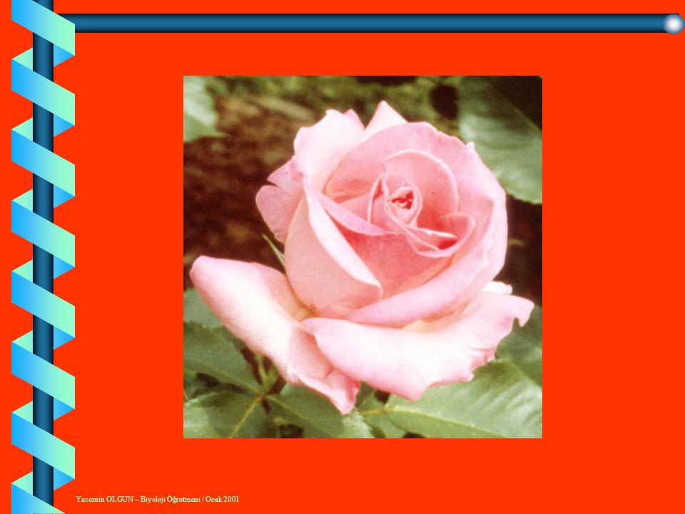 Yasemin OLGUN – Biyoloji Öğretmeni / Ocak 2001