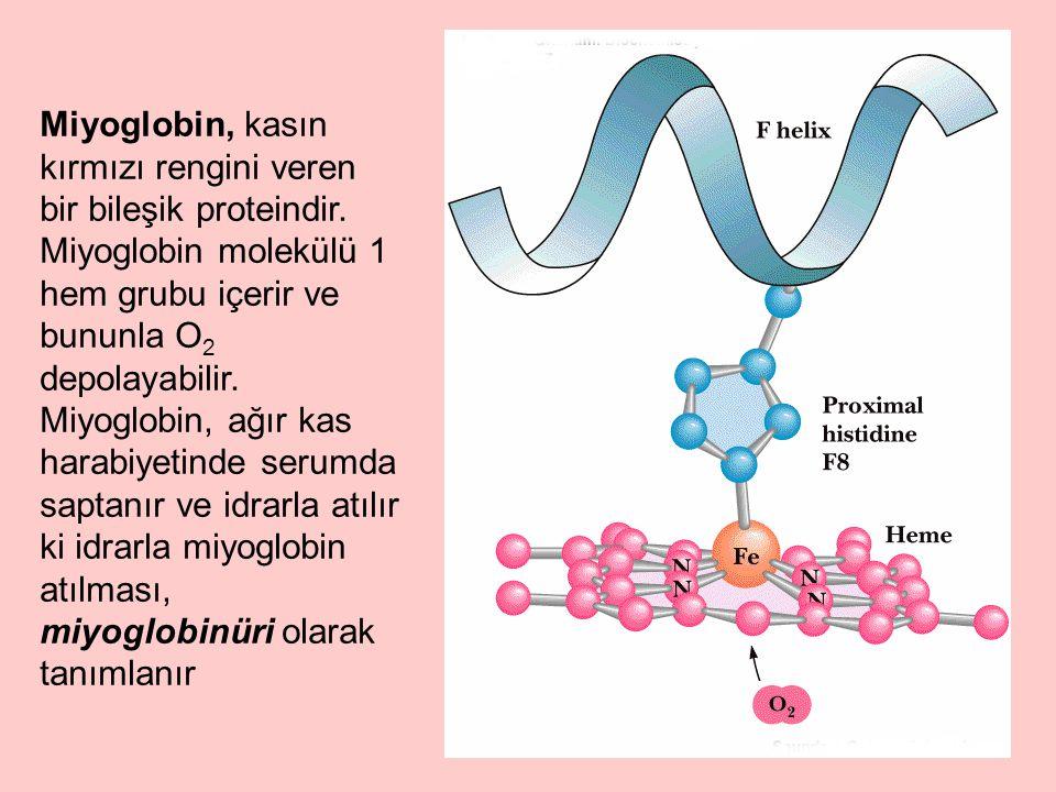 Miyoglobin, kasın kırmızı rengini veren bir bileşik proteindir.