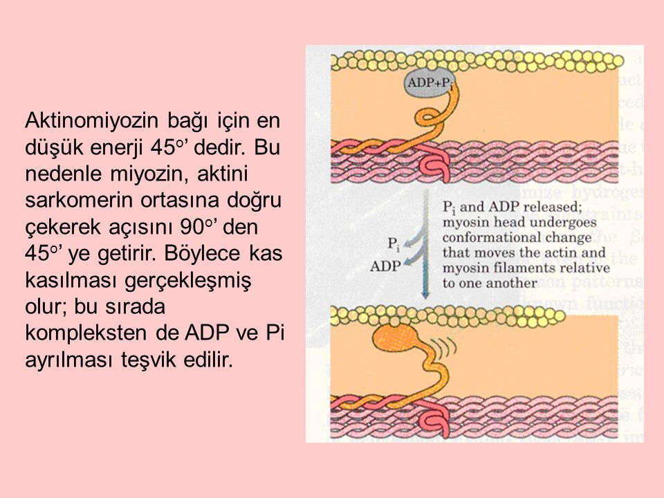 Aktinomiyozin bağı için en düşük enerji 45o' dedir