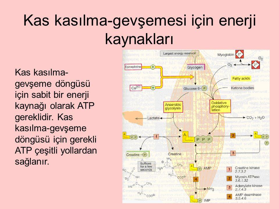 Kas kasılma-gevşemesi için enerji kaynakları