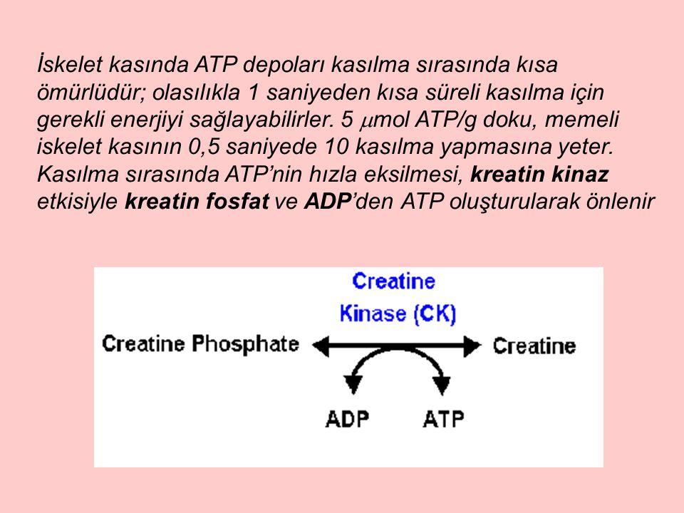 İskelet kasında ATP depoları kasılma sırasında kısa ömürlüdür; olasılıkla 1 saniyeden kısa süreli kasılma için gerekli enerjiyi sağlayabilirler.