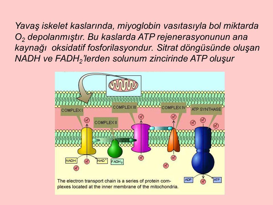 Yavaş iskelet kaslarında, miyoglobin vasıtasıyla bol miktarda O2 depolanmıştır.