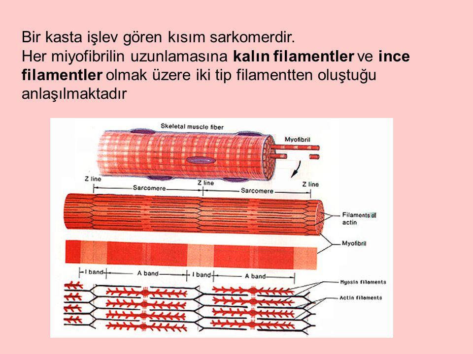 Bir kasta işlev gören kısım sarkomerdir.