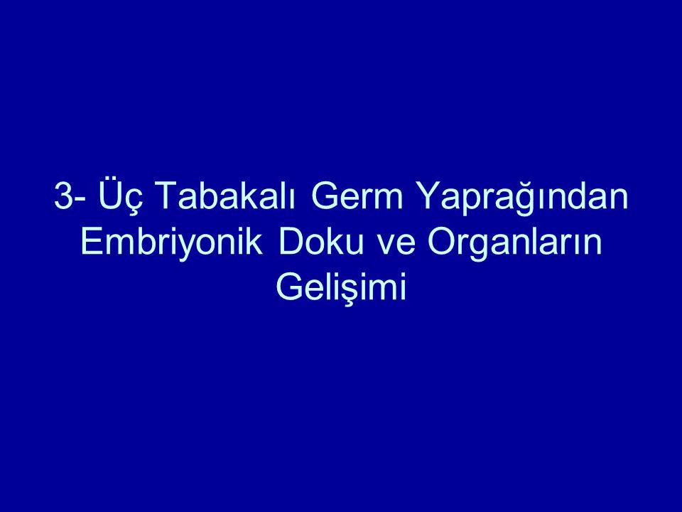 3- Üç Tabakalı Germ Yaprağından Embriyonik Doku ve Organların Gelişimi