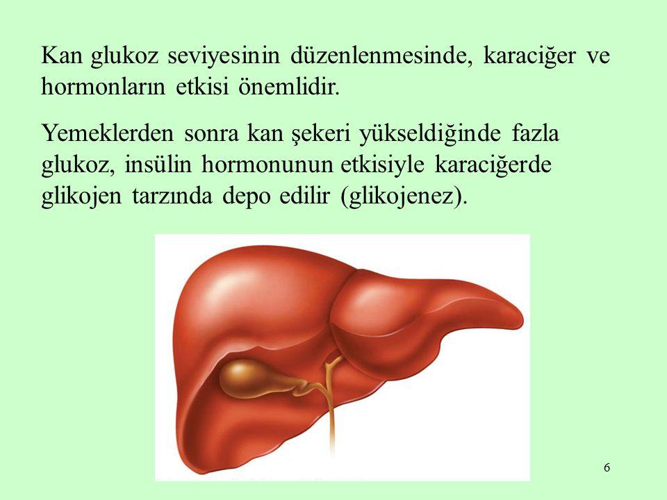 Kan glukoz seviyesinin düzenlenmesinde, karaciğer ve hormonların etkisi önemlidir.