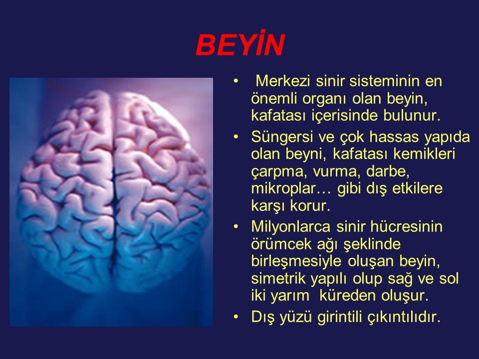 BEYİN Merkezi sinir sisteminin en önemli organı olan beyin, kafatası içerisinde bulunur.
