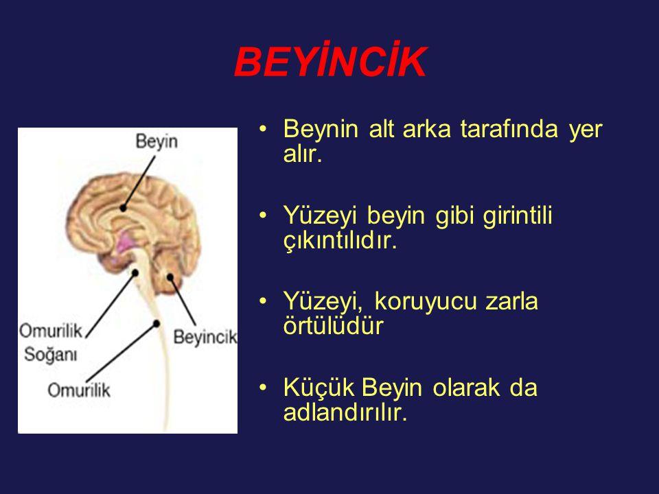 BEYİNCİK Beynin alt arka tarafında yer alır.
