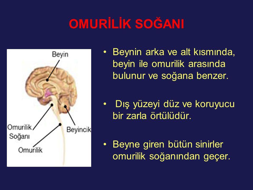 OMURİLİK SOĞANI Beynin arka ve alt kısmında, beyin ile omurilik arasında bulunur ve soğana benzer. Dış yüzeyi düz ve koruyucu bir zarla örtülüdür.