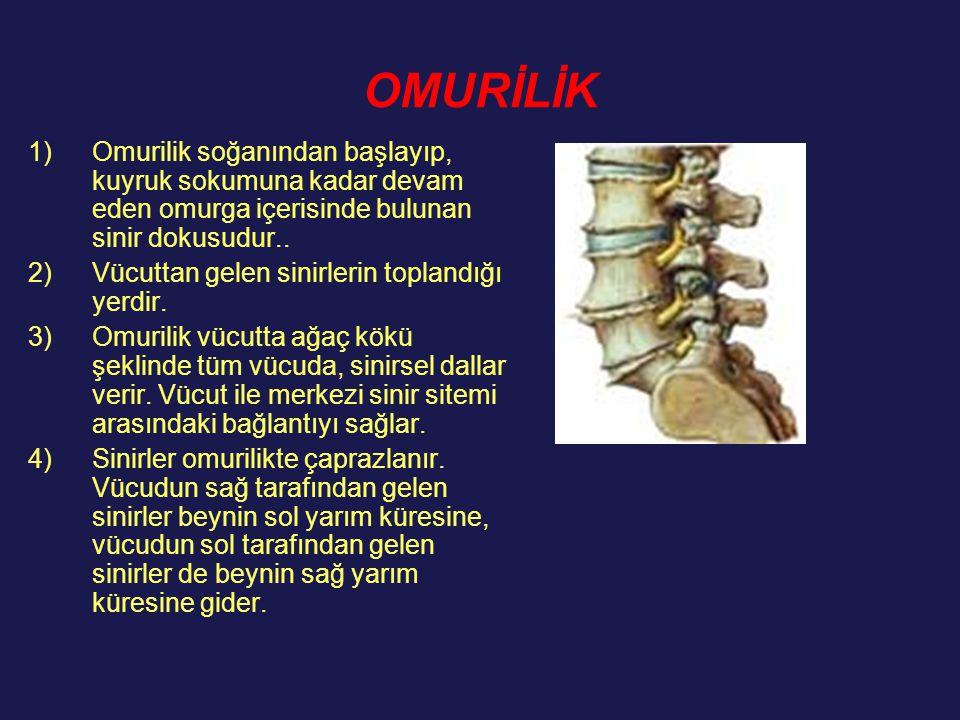 OMURİLİK Omurilik soğanından başlayıp, kuyruk sokumuna kadar devam eden omurga içerisinde bulunan sinir dokusudur..