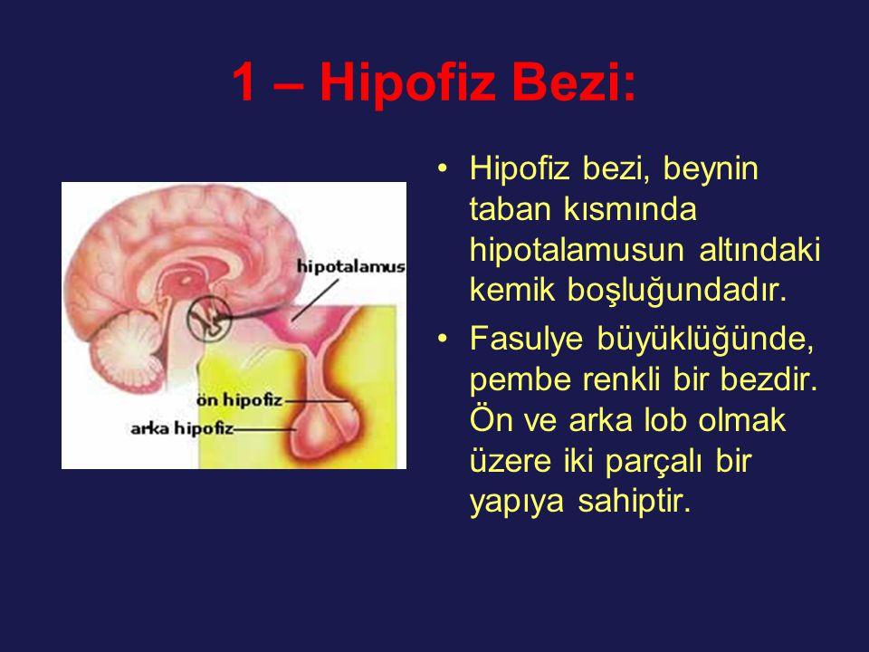 1 – Hipofiz Bezi: Hipofiz bezi, beynin taban kısmında hipotalamusun altındaki kemik boşluğundadır.
