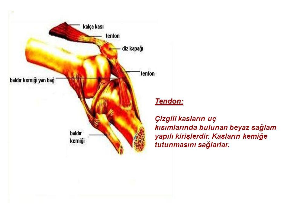 Tendon: Çizgili kasların uç. kısımlarında bulunan beyaz sağlam. yapılı kirişlerdir. Kasların kemiğe.