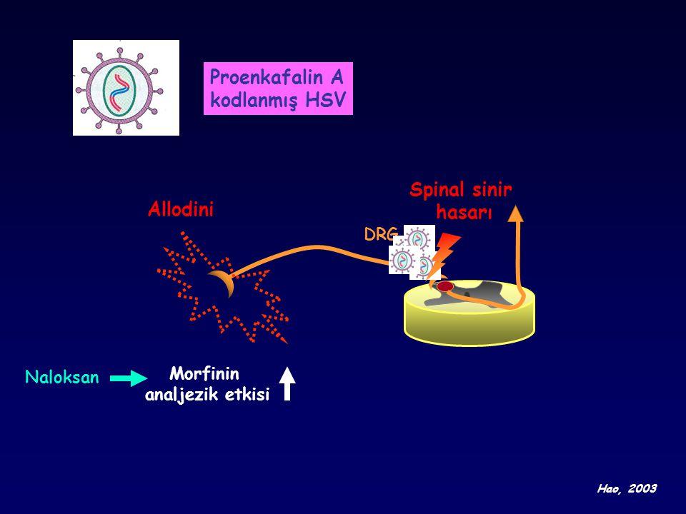 Proenkafalin A kodlanmış HSV Spinal sinir hasarı Allodini DRG Morfinin