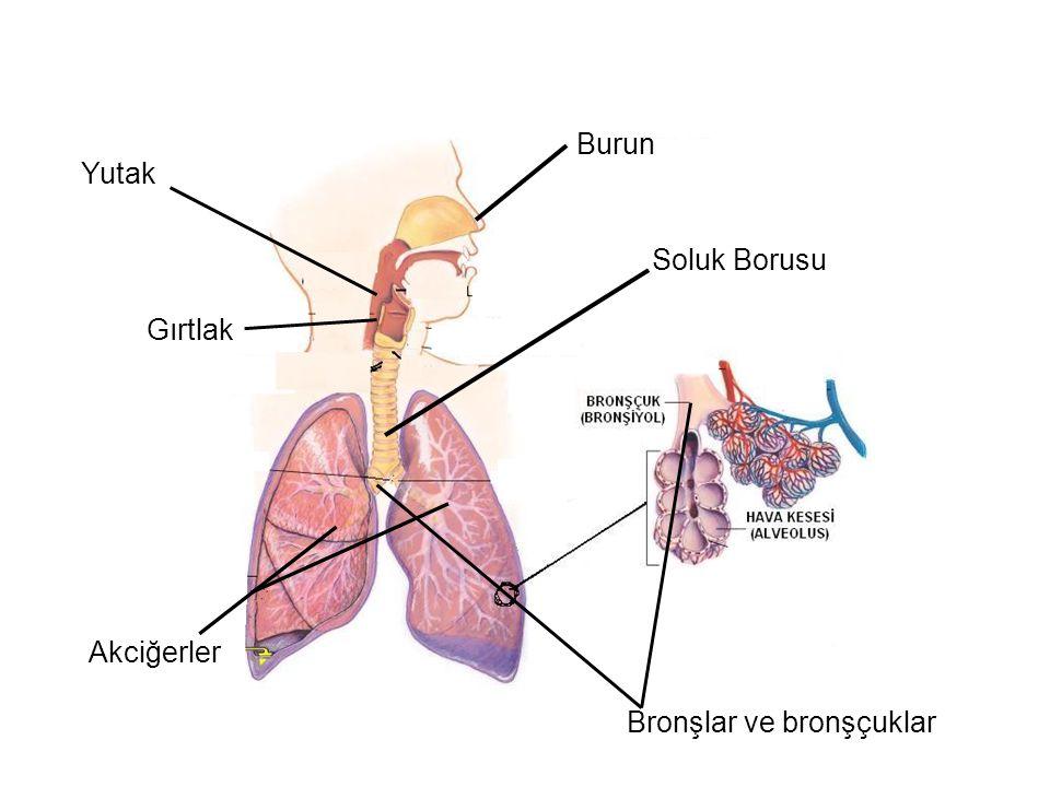 Burun Yutak Soluk Borusu Gırtlak Akciğerler Bronşlar ve bronşçuklar