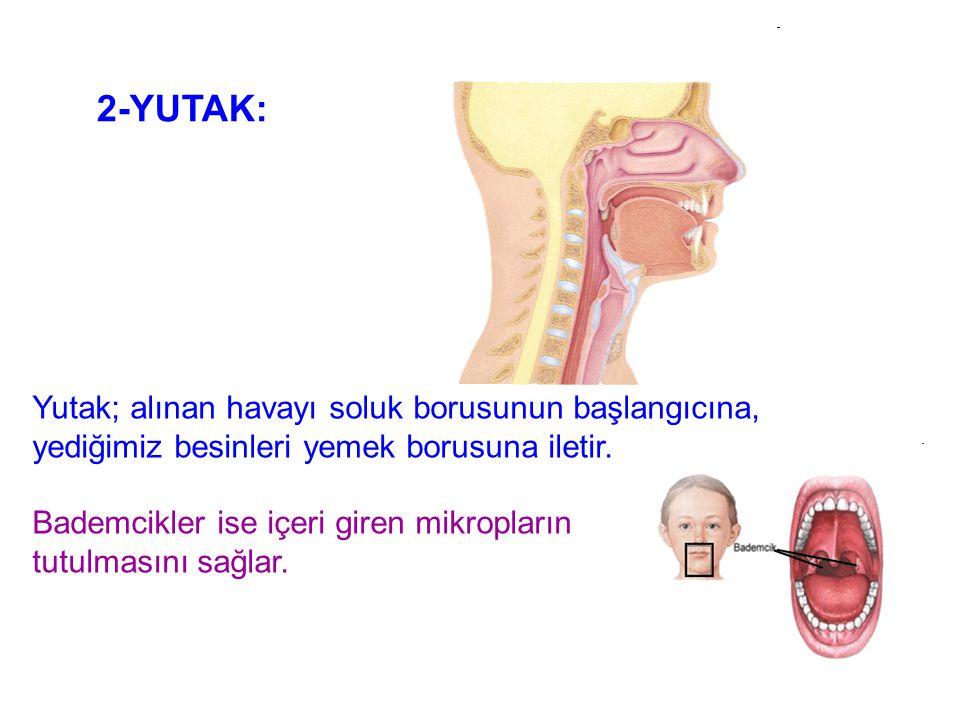 2-YUTAK: Yutak; alınan havayı soluk borusunun başlangıcına, yediğimiz besinleri yemek borusuna iletir.