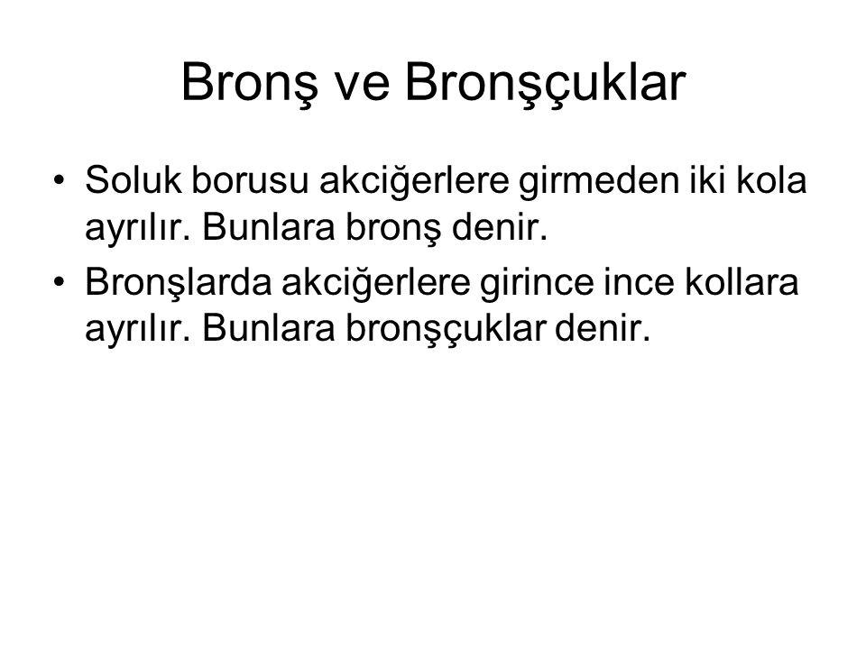Bronş ve Bronşçuklar Soluk borusu akciğerlere girmeden iki kola ayrılır. Bunlara bronş denir.