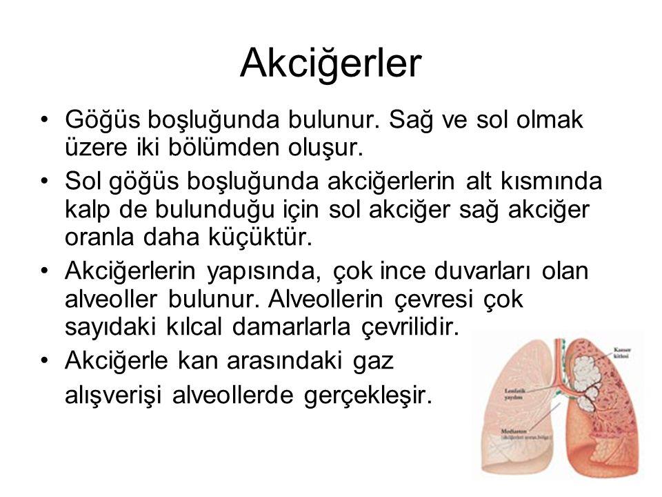 Akciğerler Göğüs boşluğunda bulunur. Sağ ve sol olmak üzere iki bölümden oluşur.