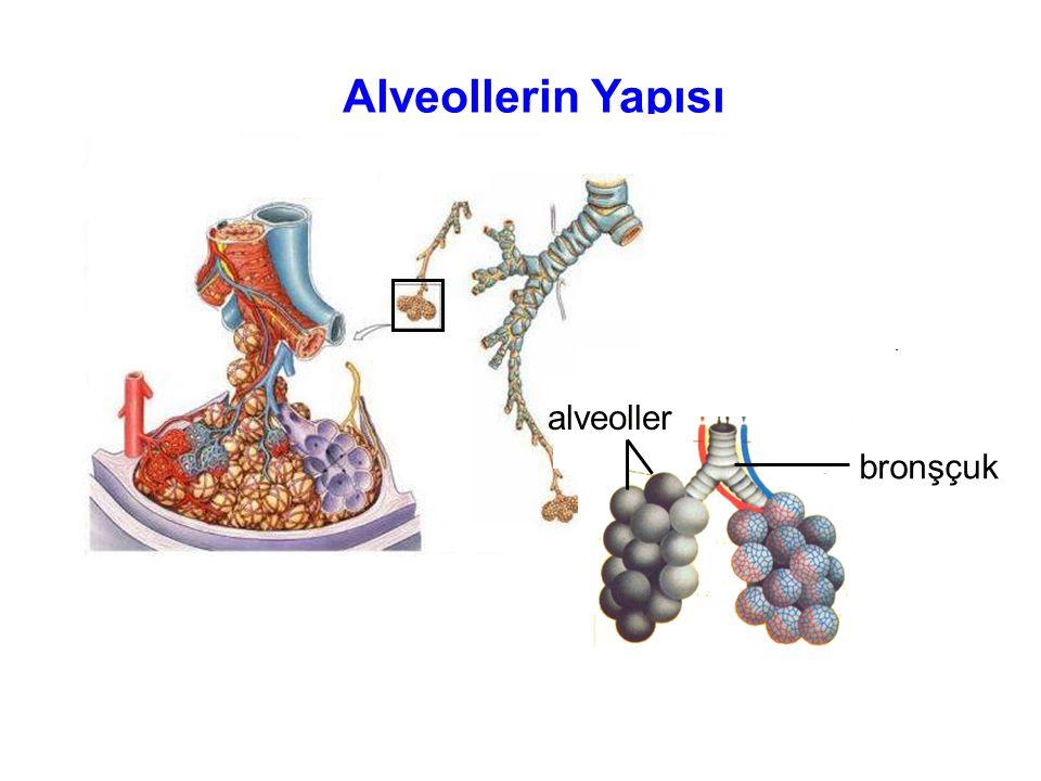 Alveollerin Yapısı bronşçuk alveoller