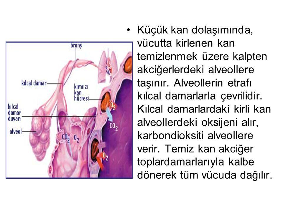 Küçük kan dolaşımında, vücutta kirlenen kan temizlenmek üzere kalpten akciğerlerdeki alveollere taşınır.