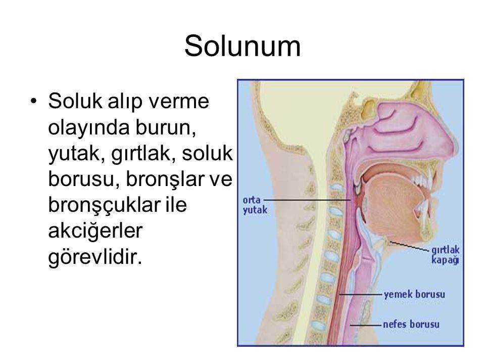 Solunum Soluk alıp verme olayında burun, yutak, gırtlak, soluk borusu, bronşlar ve bronşçuklar ile akciğerler görevlidir.