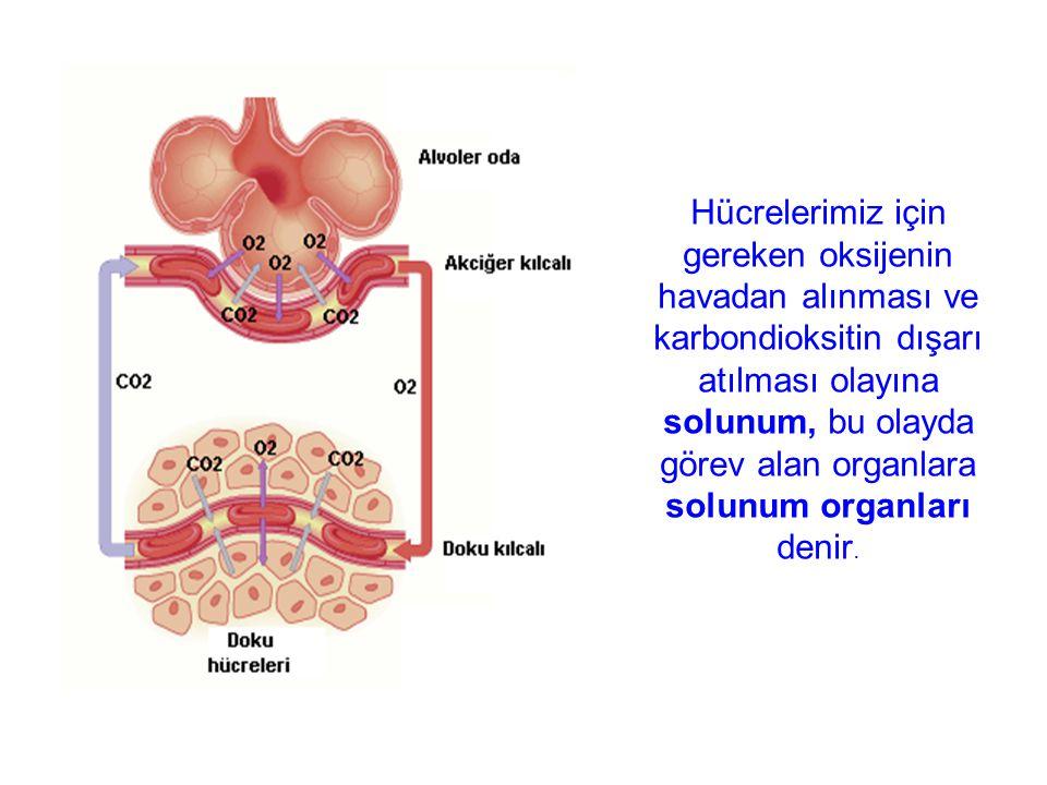 Hücrelerimiz için gereken oksijenin havadan alınması ve karbondioksitin dışarı atılması olayına solunum, bu olayda görev alan organlara solunum organları denir.
