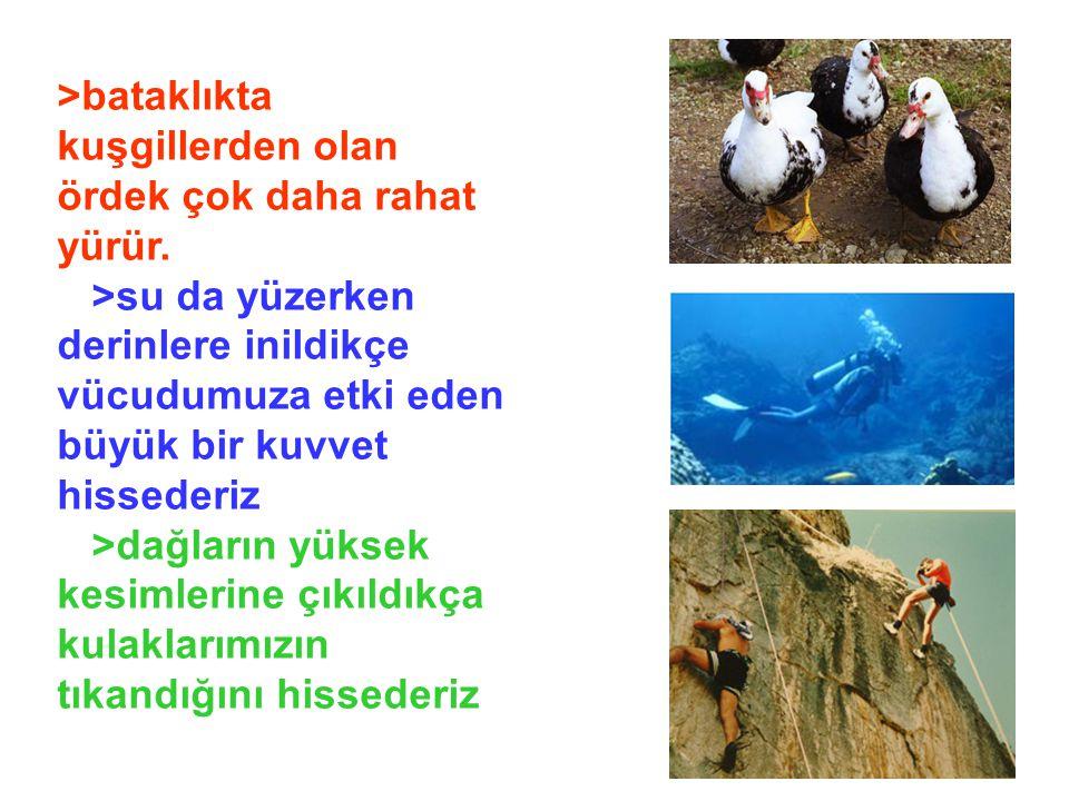>bataklıkta kuşgillerden olan ördek çok daha rahat yürür.