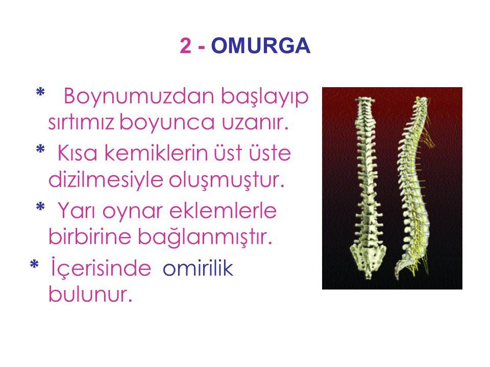 2 - OMURGA * Boynumuzdan başlayıp sırtımız boyunca uzanır. * Kısa kemiklerin üst üste dizilmesiyle oluşmuştur.