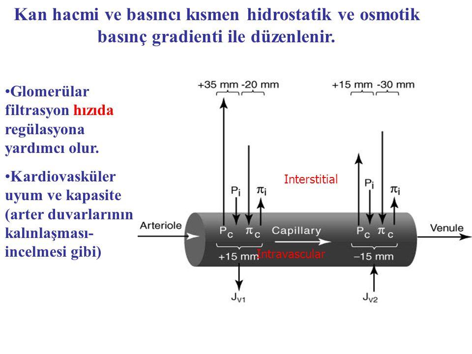 Kan hacmi ve basıncı kısmen hidrostatik ve osmotik basınç gradienti ile düzenlenir.